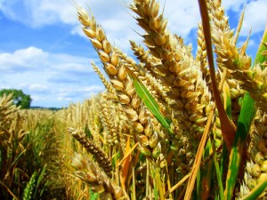 apts denver: wheat