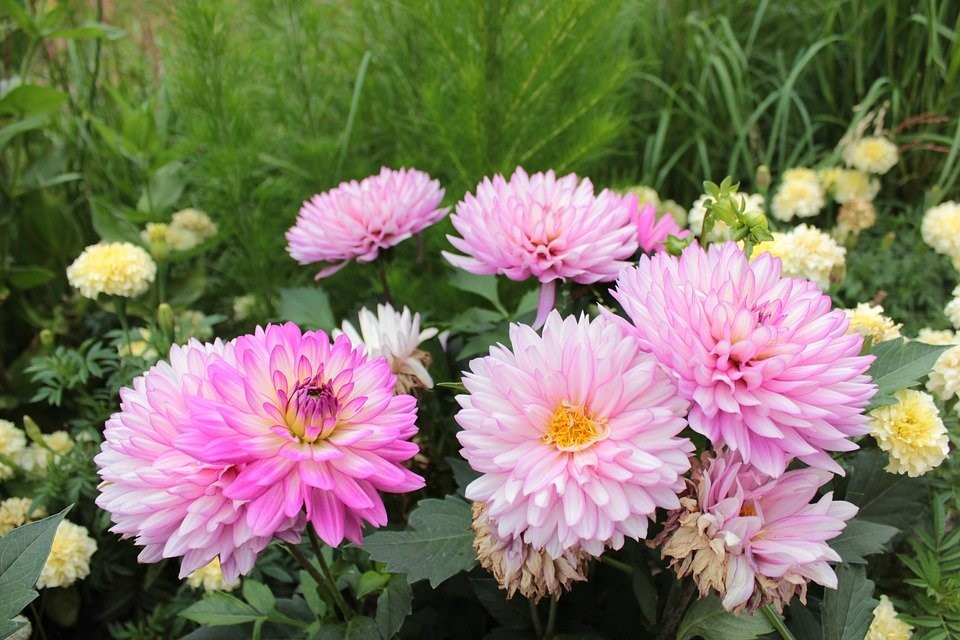 Pink, Pink Flowers, Flowers, Botanical Gardens, Denver